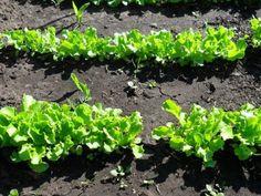 Cum se seamănă salata — 3 metode verificate pentru diferite situații! - Sfaturi pentru casă și grădină Summer House Garden, Home And Garden, Vegetable Garden, Garden Design, Grass, Vineyard, Places To Visit, Vegetables, Health