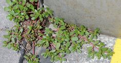 Ever heard of the weed, purslane? Most who have, consider it useless and end up pulling it up. However, there's more to purslane than you may think. It actually has pretty amazing health benefits!