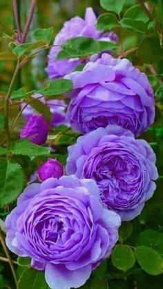 Best Garden Plants And Planting Beautiful Rose Flowers, Exotic Flowers, Amazing Flowers, Pretty Flowers, Lavender Roses, Purple Roses, Amazing Gardens, Beautiful Gardens, Coming Up Roses