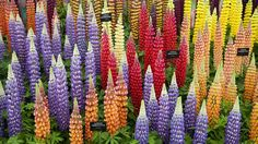 Lupines at the 2015 Chelsea Flower Show.  The Most Amazing Flower Festivals in the World (PHOTOS) | The Weather Channel