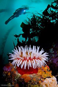 Alert Diver   Kelp Gallery
