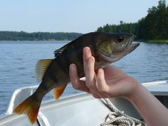 A perch caught by one of our guests during a guided fishing trip.