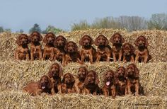 irish setter puppies--how they ever got them all to sit still for a second is amazing!