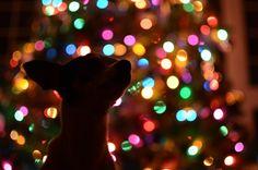 Domácí mazlíčci Holiday Photos, Christmas Pictures, Dog Whining, Tibetan Mastiff Dog, Dog Silhouette, Puppy Care, Pet Tags, Christmas Dog, Christmas Animals