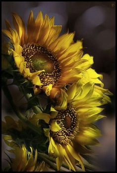 Uploaded by CICA. Find images and videos on We Heart It - the app to get lost in what you love. Sunflower Pictures, Sunflower Art, Amazing Flowers, Beautiful Flowers, Sunflowers And Daisies, Sunflower Wallpaper, Happy Flowers, Gerbera, My Flower