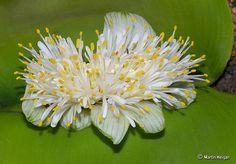 Haemanthus deformis flower (Amaryllis family) from Tsitsa Falls,   Eastern Cape, South Africa. By Martin Heigan, via Flickr