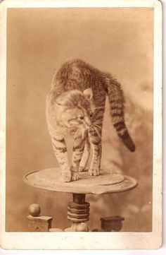 Cabinet Card Photo of a  Cat Standing on a Round Table