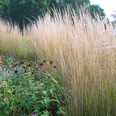 1000 images about karl foerster in my garden on pinterest for Ornamental grass that looks like wheat