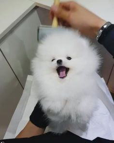 Such a cute pomeranian pup Remark CUTE letter by letter Tag somebody Comply with… – Dog Gallery Pomeranian Facts, Pomeranian Breed, Cute Pomeranian, Pomeranians, Cute Puppies, Cute Dogs, Pom Dog, Save A Dog, Cute Letters