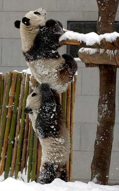 Pandas play at the Wolong National Nature Reserve in Wenchuan County, Sichuan, China • photo: Newsphoto on China Daily