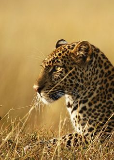 - Kali the Leopard -