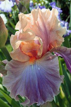 Multi-Color Iris Bearded Iris