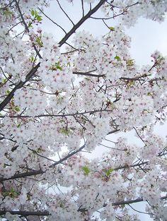 White flowering Plum trees looking very elegant indeed.