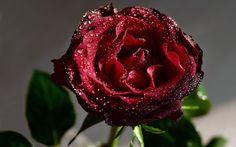 HD Widescreen Wallpaper - rose