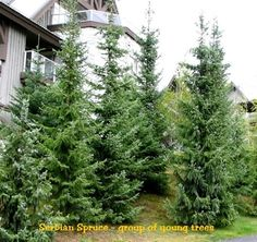 Serbian Spruce has a slender pyramidal habit with good green color year round. Very hardy, and will adapt to many different soil types.