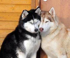 Siberian Huskies in love