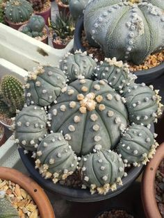 cactus flower name Succulent Gardening, Cacti And Succulents, Planting Succulents, Planting Flowers, Indoor Cactus Plants, Garden Plants, Unusual Plants, Cool Plants, Vegetable Gardening
