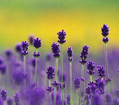beautiful lavender photograph