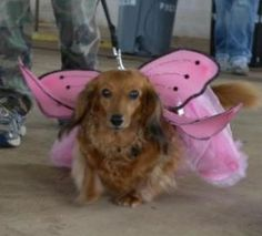 All Things Dachshund | Dachtoberfest celebrates all things Dachshund - The Frederick News ...