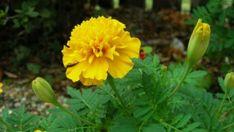Büdöske csatasorban, célpont a fonálféreg Marigold Flower, Farm Gardens, Good To Know, Image, Gardening, Sad, Tips, Flowers, Plant