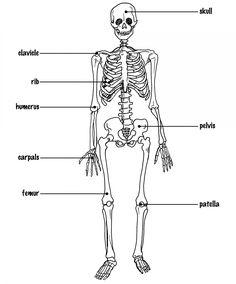 1e6e61069172ff10fb788fb9fb0f168e unlabeled human skeleton diagram human anatomy organs pinterest