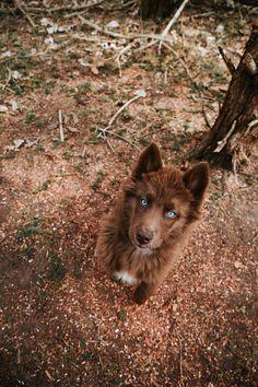 Brown Husky Puppy, Brown Siberian Husky, Siberian Husky Puppies, Siberian Huskies, Husky Dog, Beautiful Dogs, Animals Beautiful, Agouti Husky, Funny Animals