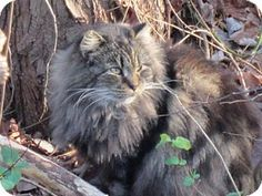1/10/16 Absecon, NJ - Maine Coon. Meet Checkers Courtesy Post, a cat for adoption. http://www.adoptapet.com/pet/14680826-absecon-new-jersey-cat