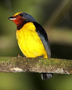 The Spot-crowned Euphonia (Euphonia imitans) is a species of bird in the Fringillidae family. It is found in Costa Rica and Panama.