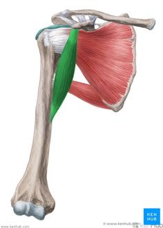 This article covers the anatomy of the coracobrachialis muscle, its origins, insertions, innervation, and functions. Learn more about this topic at Kenhub!