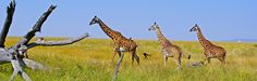 Giraffes in the Serengeti!