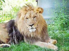 Lion... Labor Day At The Zoo Buffalo Zoo Zoo Animals  Buffalo Ny Lion Big Cats King Of The Jungle
