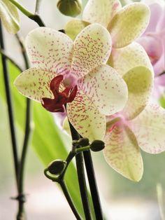 Purple speckled Phalaenopsis / Orchid.