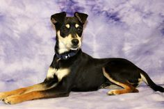 Adopted! Bandit, a manchester terrier mix! www.muttsavers.org