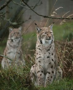 Eurasian Lynx by Rob_Brooks, via Flickr