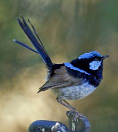 New Blue Bird Tattoo Ideas Wings Ideas Small Birds, Little Birds, Colorful Birds, Pretty Birds, Beautiful Birds, Australian Birds, Watercolor Bird, Exotic Birds, Wild Birds