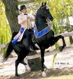 Undulata's Made in Heaven. Junior Hugo up. All The Pretty Horses, Beautiful Horses, Tennessee Walking Horse, American Saddlebred, Majestic Horse, Appaloosa Horses, Black Horses, Horse World, Horse Saddles