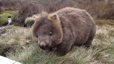 Cute Wombat, Baby Wombat, Unusual Animals, Rare Animals, Wild Animals, Black Bear, Brown Bear, Cute Gif, Funny Cute