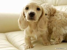 Cream Dachshund cross with a cocker spaniel Cream Dachshund, Long Haired Dachshund, Mini Dachshund, Dachshund Puppies, Cute Puppies, Cute Dogs, Dogs And Puppies, Daschund, Golden Dachshund