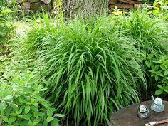 Trawy ozdobne : Brachypodium sylvaticum