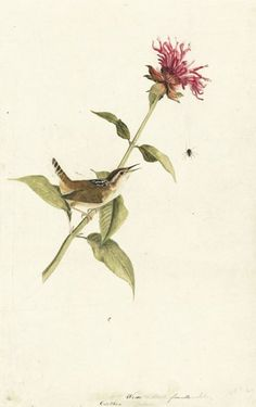 John James Audubon, Marsh Wren (Cistothorus palustris). Pastel, watercolor, and graphite with touches of gouache and black ink on paper, laid on card; 16 9/16 x 10 1/2 in. (42.1 x 26.7 cm) New-York Historical Society, Purchased for the Society by public subscription from Mrs. John J. Audubon, 1863.18.7