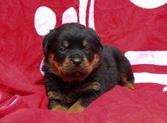 Meet Jasper: Male AKC Rottweiler Puppy (Shipshewana, Indiana).