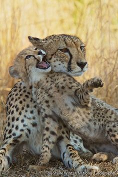 funnywildlife:  A female cheetah and her playful cub - Phinda Private Game Reserve, South Africa by Steve Winter/Panthera Cats on Flickr.