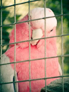 Thanks to jenny brewer for giving me the name of this pretty bird. it's a galah. A kind of Australian cockatoo Pretty In Pink, Pretty Birds, Pink Love, Beautiful Birds, Pink And Green, Lower Belly Pooch, I Believe In Pink, Pink Bird, Everything Pink
