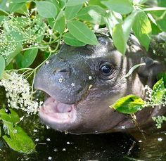 Peek A Boo! Awesome photo of a baby hippo!