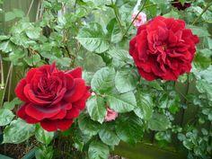Rose Ingrid Bergman, from my garden. Rose Varieties, Ingrid Bergman, English Roses, Red Roses, Gardening, Seasons, Green, Plants, Inspiration