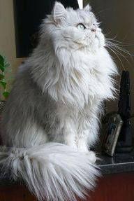cat fan club