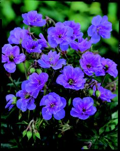One of the few double flowering hardy geraniums. Geranium Violaceum.