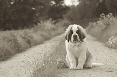 Saint Bernard! I want this kind of dog when I'm older!!!!! They are so cute!