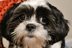 Shih tzu dog Khaleesi is rockin' her red polka dot hoodie! www.fetchdogfashions.com #shihtzu #dogclothing #dogjackets #doglovers