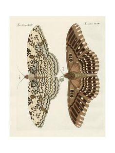 Illustration Botanique, Botanical Illustration, Illustration Art, Illustrations, Butterfly Drawing, Butterfly Painting, Zoo 2, Charles Darwin, Sphinx